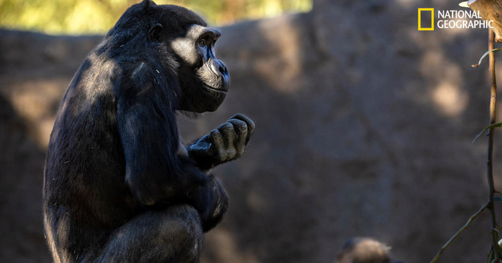 Great apes at San Diego Zoo become first non-humans to receive COVID-19 vaccine