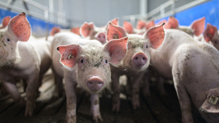 FDA approves genetically altering pigs, potentially for drugs or transplants